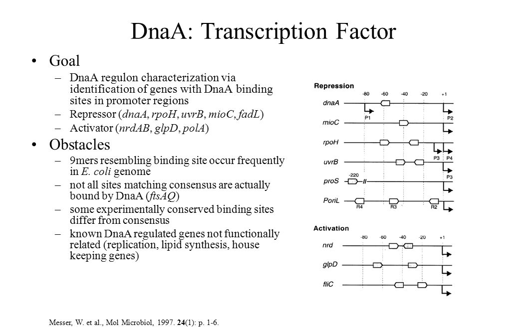 DnaA: Transcription Factor Goal –DnaA regulon characterization via identification of genes with DnaA binding sites in promoter regions –Repressor (dnaA, rpoH, uvrB, mioC, fadL) –Activator (nrdAB, glpD, polA) Obstacles –9mers resembling binding site occur frequently in E.
