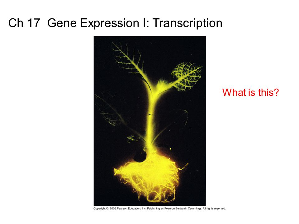 Basic Principles of Gene Expression DNA encodes hereditary information (genotype) -> decoded into RNA -> protein (phenotype) DNA RNA Protein Transcription Translation