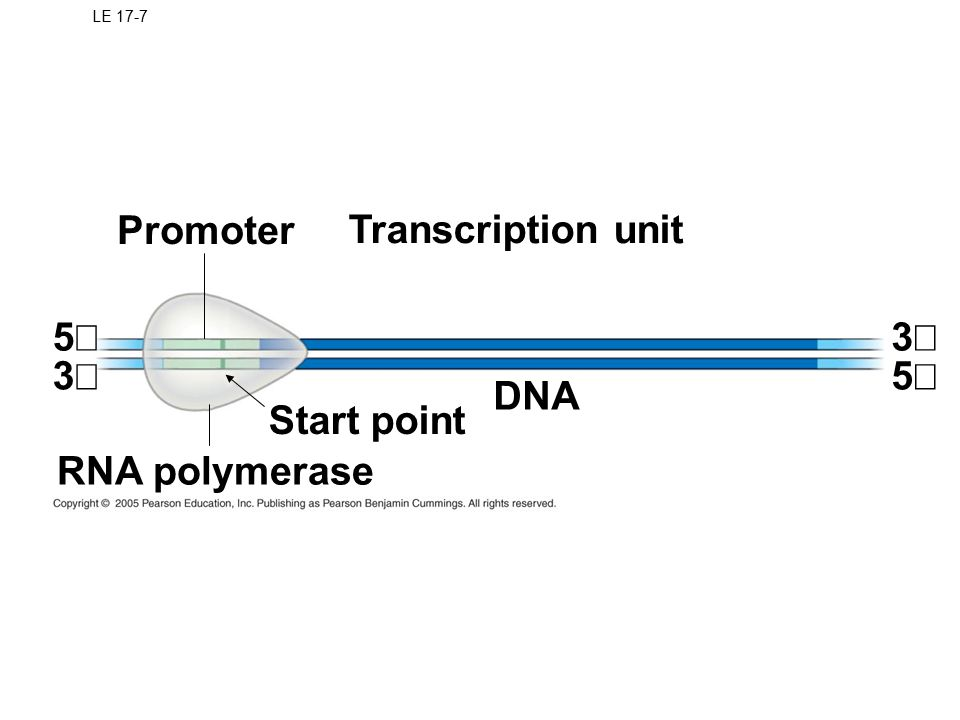 LE 17-7 Promoter Transcription unit RNA polymerase Start point DNA 5 3 3 5