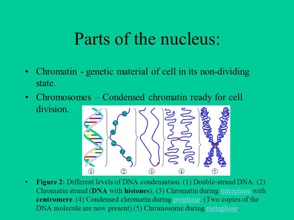 Parts of the nucleus: Chromatin - genetic material of cell in its non-dividing state. Chromosomes – Condensed chromatin ready for cell division. Figur