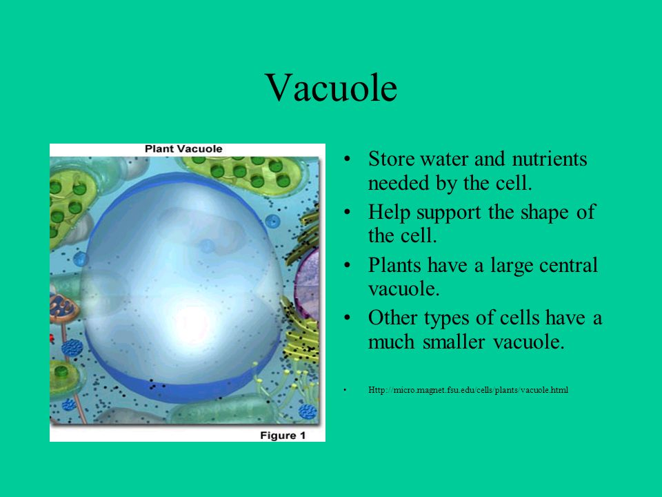 Vacuole Store water and nutrients needed by the cell. Help support the shape of the cell. Plants have a large central vacuole. Other types of cells ha