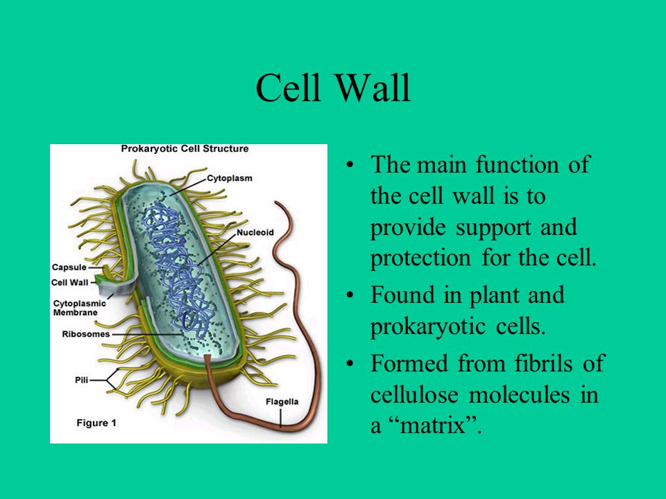Cell Wall The main function of the cell wall is to provide support and protection for the cell. Found in plant and prokaryotic cells. Formed from fibr