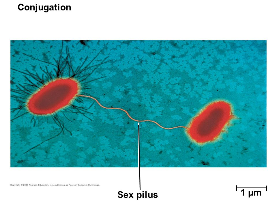 Conjugation Sex pilus 1 µm