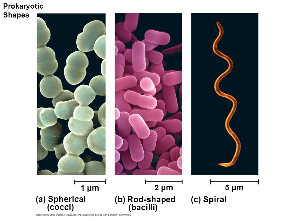 Prokaryotic Shapes (a) Spherical (cocci) 1 µm (b) Rod-shaped (bacilli) 2 µm (c) Spiral 5 µm