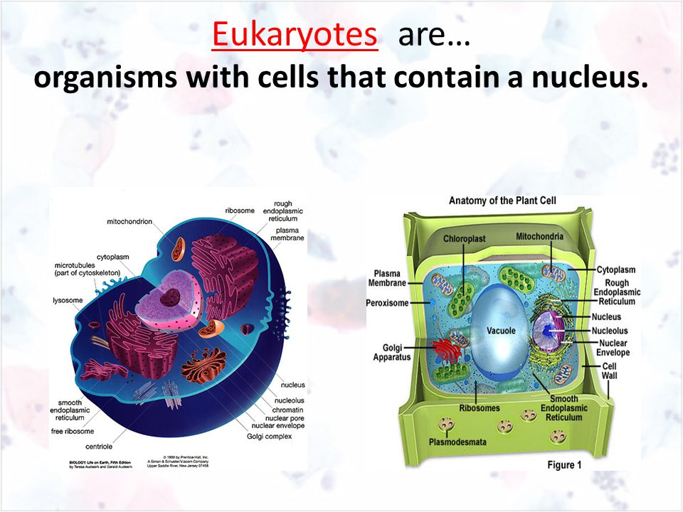 Eukaryotes are… organisms with cells that contain a nucleus.