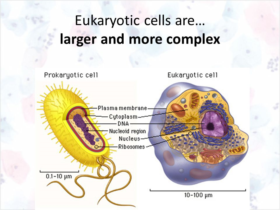 Eukaryotic cells are… larger and more complex