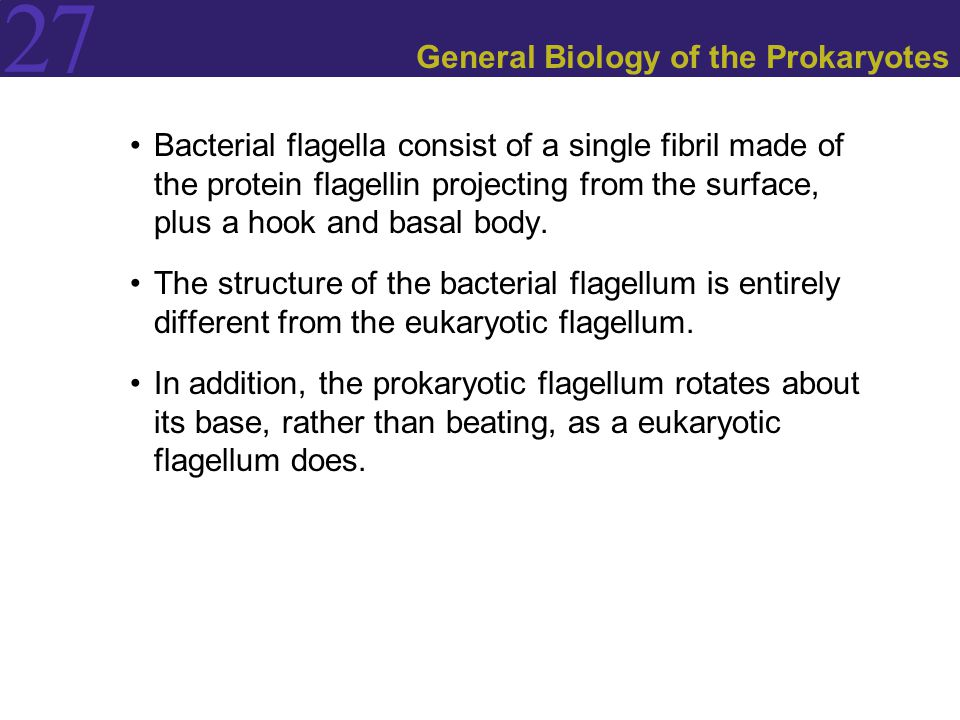 27 General Biology of the Prokaryotes Bacterial flagella consist of a single fibril made of the protein flagellin projecting from the surface, plus a
