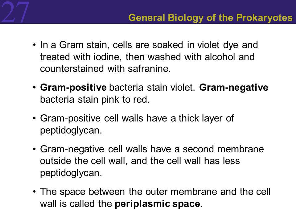 27 General Biology of the Prokaryotes In a Gram stain, cells are soaked in violet dye and treated with iodine, then washed with alcohol and countersta