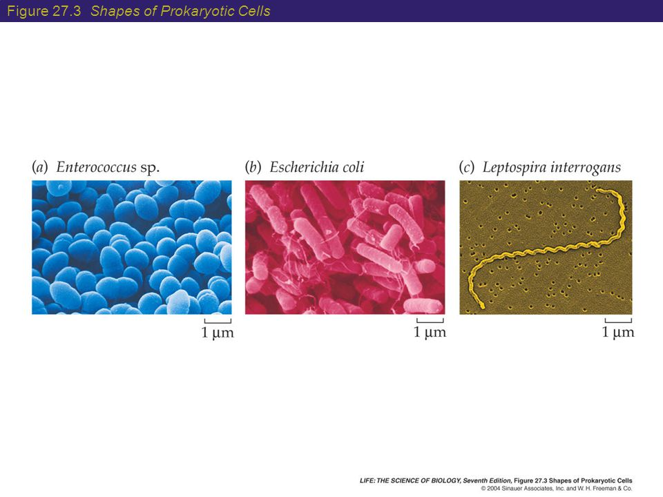 Figure 27.3 Shapes of Prokaryotic Cells