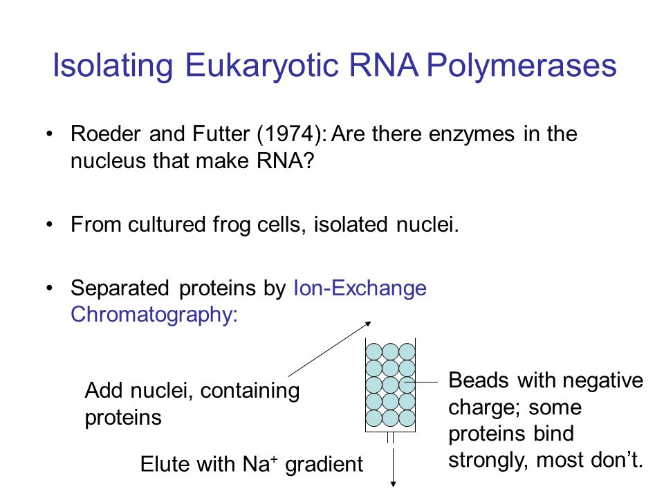 Isolating Eukaryotic RNA Polymerases Roeder and Futter (1974): Are there enzymes in the nucleus that make RNA.
