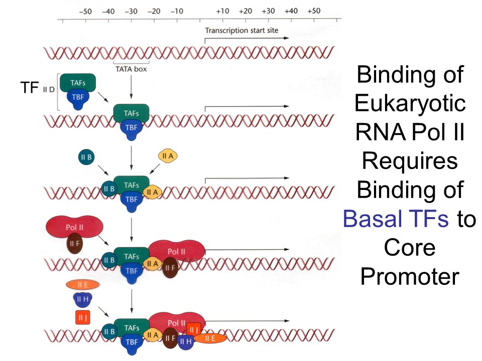 Binding of Eukaryotic RNA Pol II Requires Binding of Basal TFs to Core Promoter TF