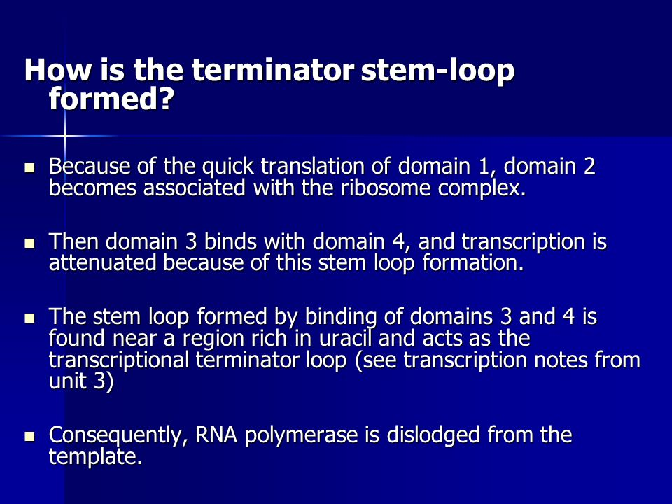 How is the terminator stem-loop formed? Because of the quick translation of domain 1, domain 2 becomes associated with the ribosome complex. Because o
