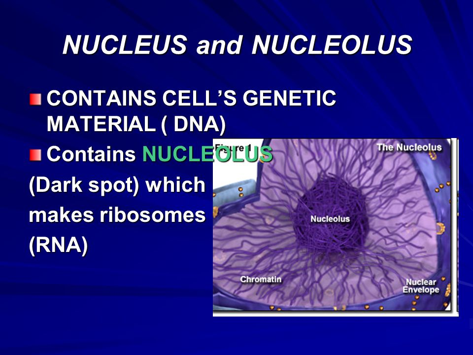 NUCLEUS and NUCLEOLUS – –Each cell has fixed number of chromosomes that carry genes – –Genes control cell characteristics