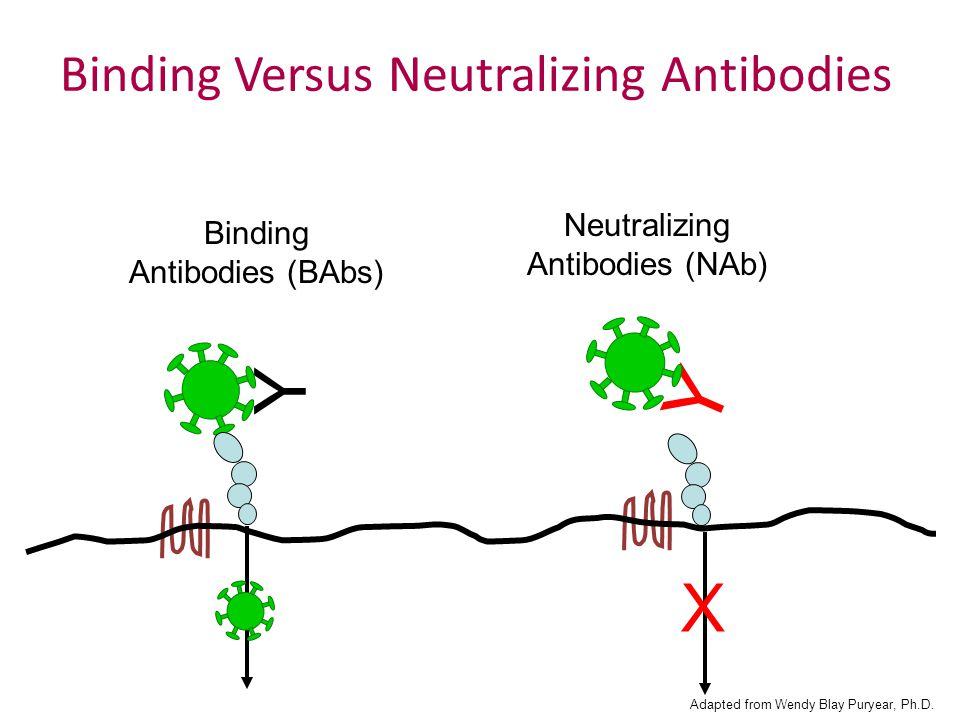 Y Y X Binding Antibodies (BAbs) Neutralizing Antibodies (NAb) Binding Versus Neutralizing Antibodies Adapted from Wendy Blay Puryear, Ph.D.