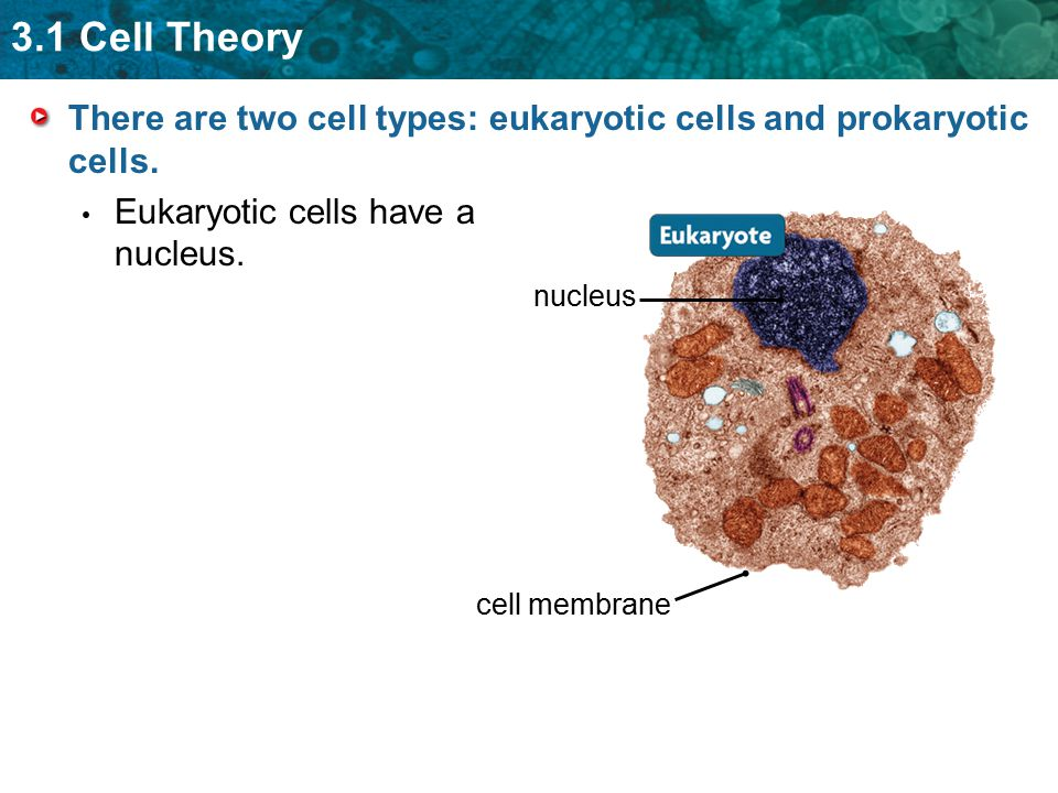 3.1 Cell Theory There are two cell types: eukaryotic cells and prokaryotic cells. Eukaryotic cells have a nucleus. nucleus cell membrane