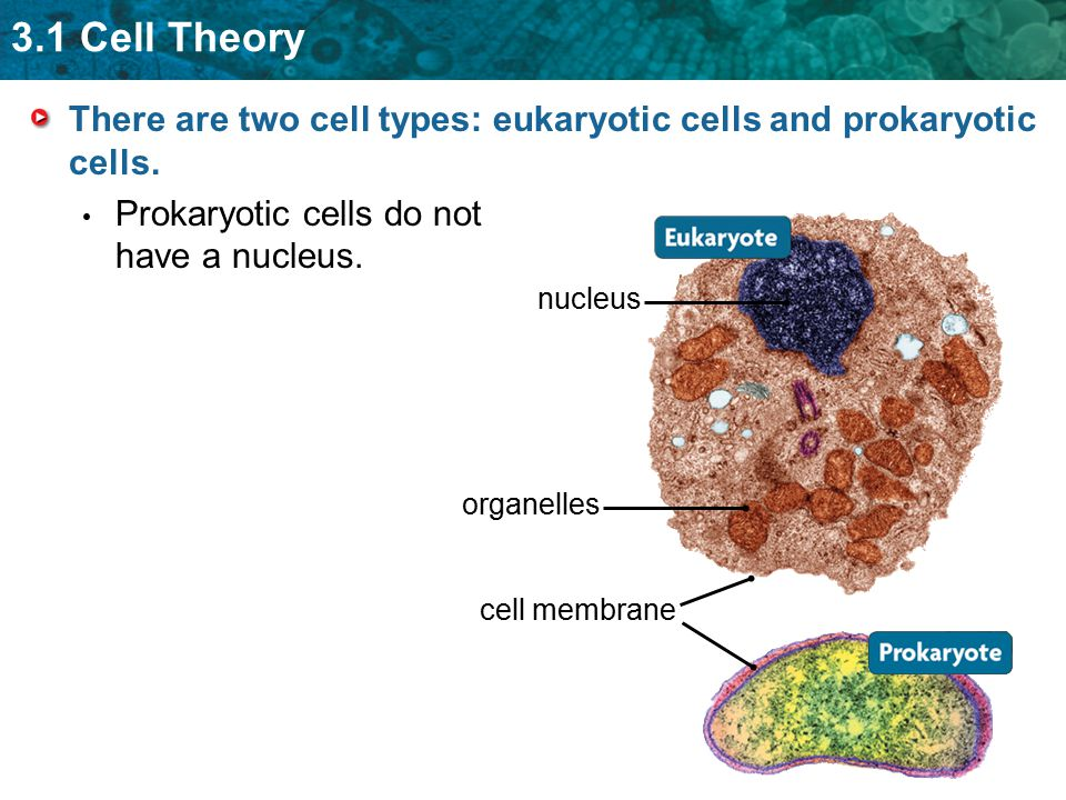 3.1 Cell Theory There are two cell types: eukaryotic cells and prokaryotic cells. Prokaryotic cells do not have a nucleus. nucleus cell membrane organ