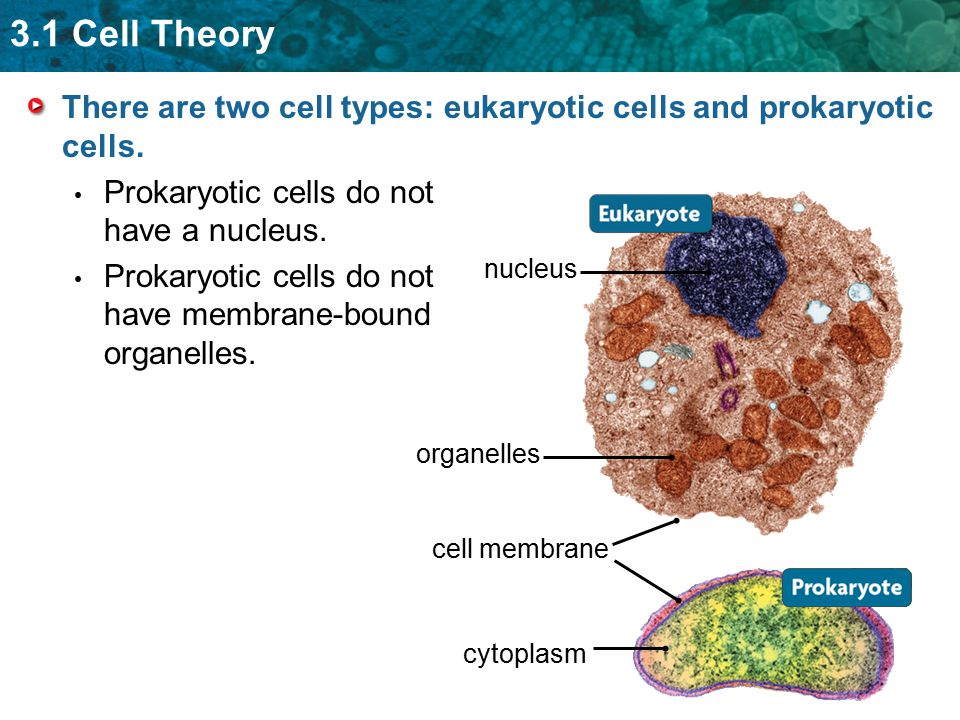 3.1 Cell Theory There are two cell types: eukaryotic cells and prokaryotic cells. Prokaryotic cells do not have a nucleus. Prokaryotic cells do not ha