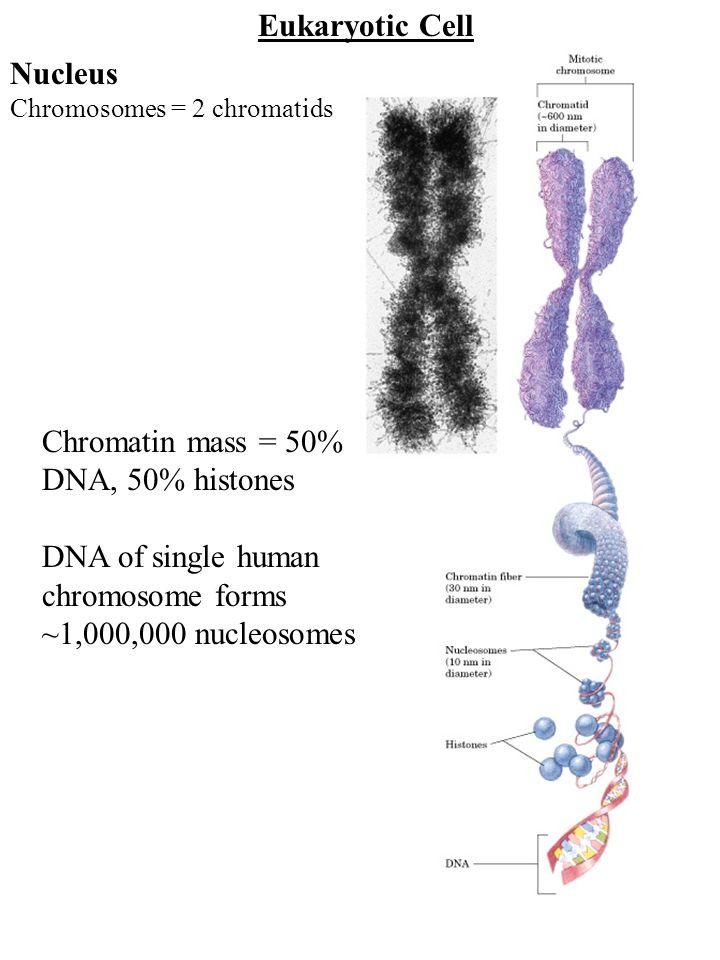 Eukaryotic Cell Nucleus Chromosomes = 2 chromatids Chromatin mass = 50% DNA, 50% histones DNA of single human chromosome forms ~1,000,000 nucleosomes