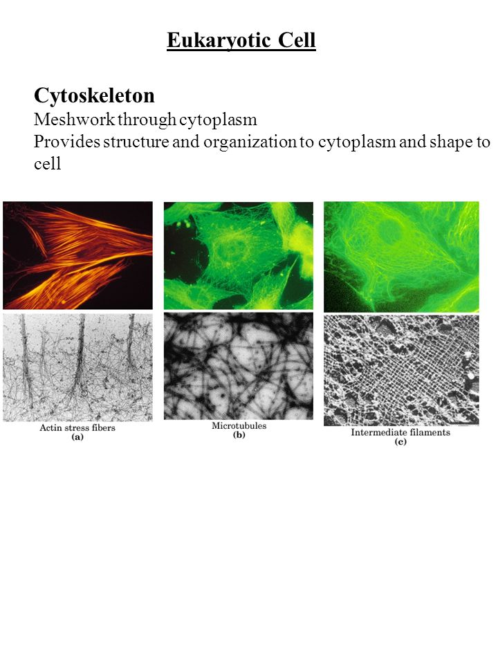 Eukaryotic Cell Cytoskeleton Meshwork through cytoplasm Provides structure and organization to cytoplasm and shape to cell
