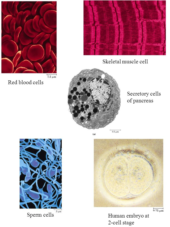 Secretory cells of pancreas Skeletal muscle cell Sperm cells Red blood cells Human embryo at 2-cell stage