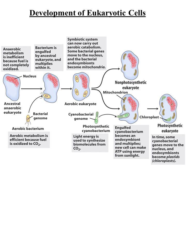 Development of Eukaryotic Cells