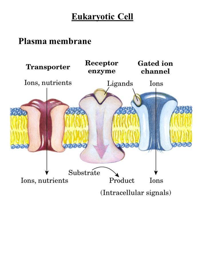 Eukaryotic Cell Plasma membrane