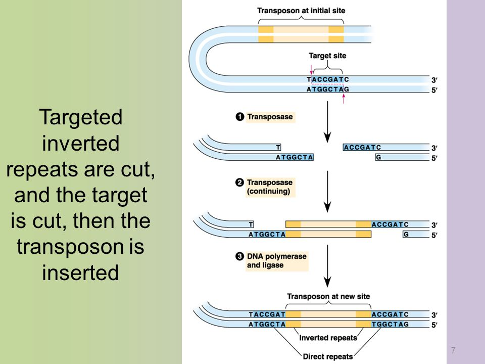 8 Composite transposons move extra genes along with the inserted sequence, and are very beneficial to the bacteria