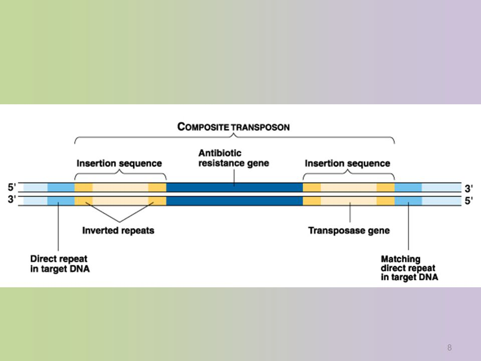 mRNA enzyme1enzyme2enzyme3enzyme4 operator promoter Repressible operon: tryptophan DNATATA RNA polymerase tryptophan repressor repressor protein repressor tryptophan – repressor protein complex Synthesis pathway model When excess tryptophan is present, it binds to tryp repressor protein & triggers repressor to bind to DNA –blocks (represses) transcription gene1gene2gene3gene4 conformational change in repressor protein.