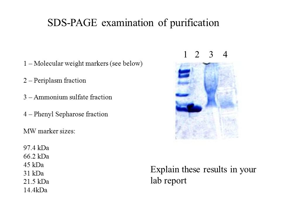 SDS-PAGE examination of purification 1 2 3 4 1 – Molecular weight markers (see below) 2 – Periplasm fraction 3 – Ammonium sulfate fraction 4 – Phenyl Sepharose fraction MW marker sizes: 97.4 kDa 66.2 kDa 45 kDa 31 kDa 21.5 kDa 14.4kDa Explain these results in your lab report