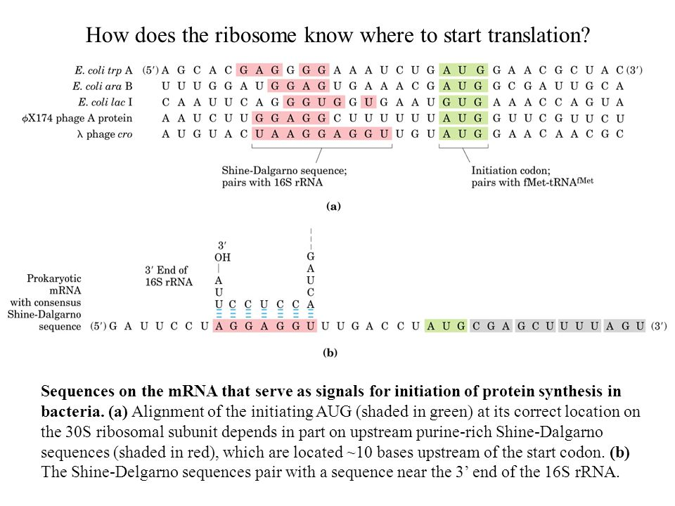 Sequences on the mRNA that serve as signals for initiation of protein synthesis in bacteria.