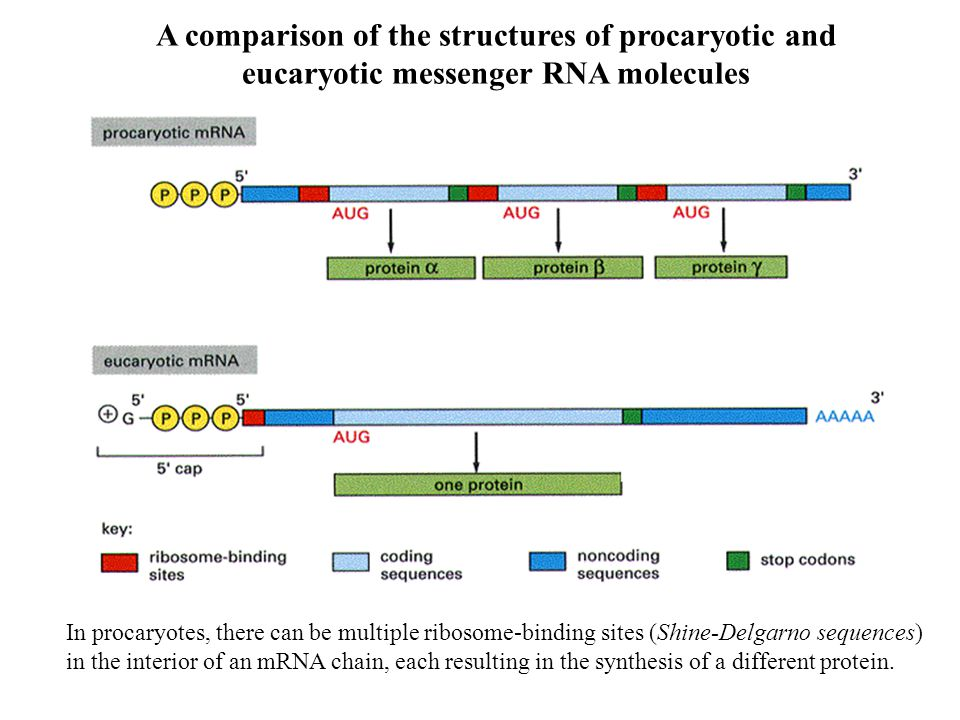 In procaryotes, there can be multiple ribosome-binding sites (Shine-Delgarno sequences) in the interior of an mRNA chain, each resulting in the synthesis of a different protein.