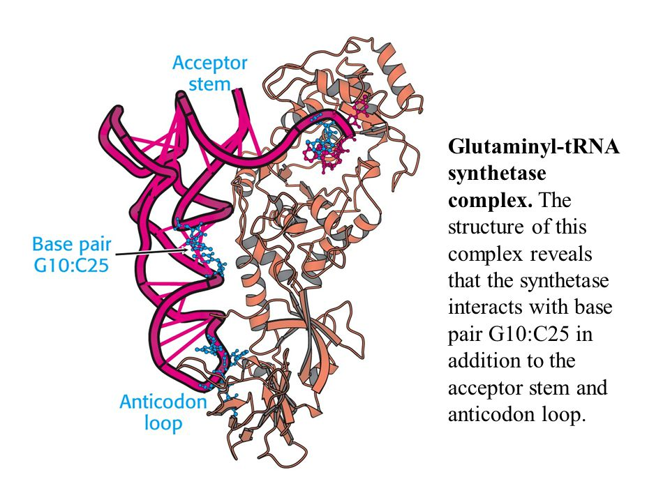 Glutaminyl-tRNA synthetase complex. The structure of this complex reveals that the synthetase interacts with base pair G10:C25 in addition to the acce