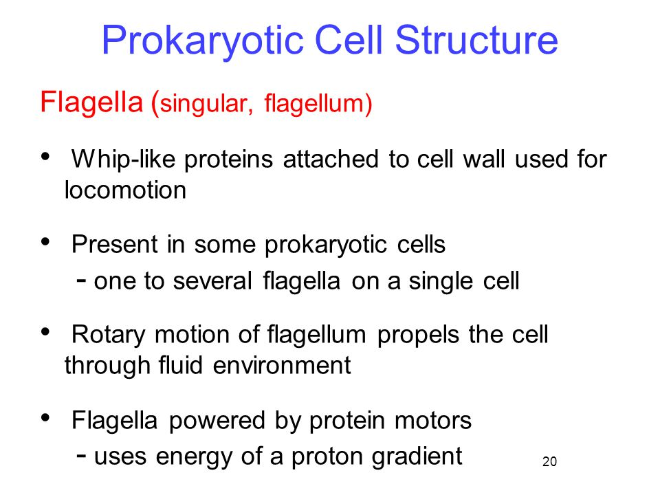 20 Prokaryotic Cell Structure Flagella ( singular, flagellum) Whip-like proteins attached to cell wall used for locomotion Present in some prokaryotic