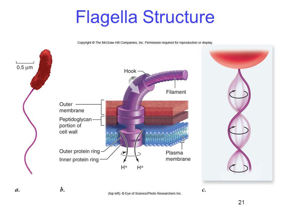 21 Flagella Structure