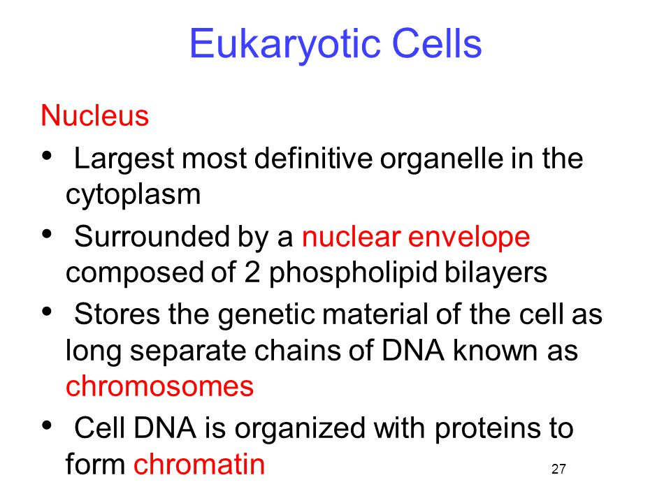 27 Eukaryotic Cells Nucleus Largest most definitive organelle in the cytoplasm Surrounded by a nuclear envelope composed of 2 phospholipid bilayers Stores the genetic material of the cell as long separate chains of DNA known as chromosomes Cell DNA is organized with proteins to form chromatin