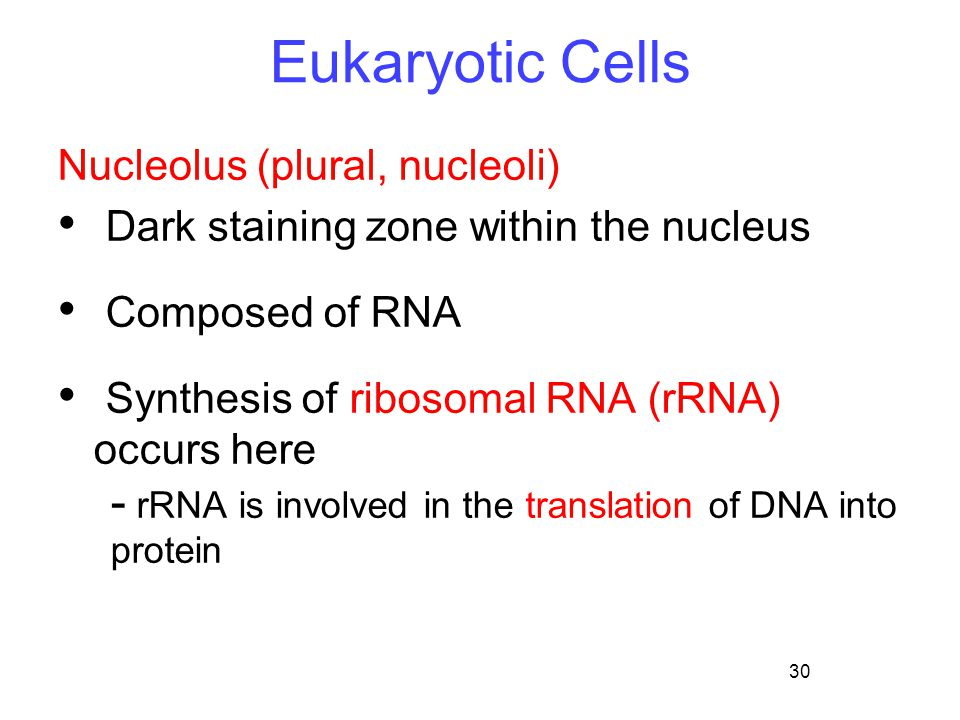 30 Eukaryotic Cells Nucleolus (plural, nucleoli) Dark staining zone within the nucleus Composed of RNA Synthesis of ribosomal RNA (rRNA) occurs here -