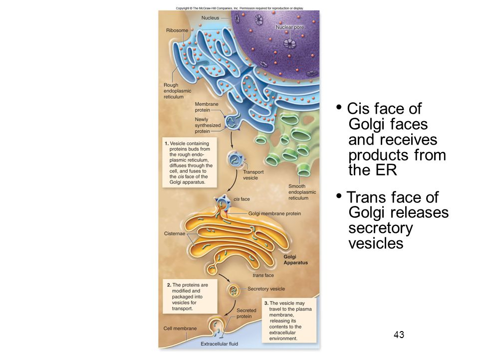 43 Cis face of Golgi faces and receives products from the ER Trans face of Golgi releases secretory vesicles