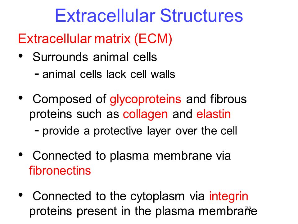 73 Extracellular Structures Extracellular matrix (ECM) Surrounds animal cells - animal cells lack cell walls Composed of glycoproteins and fibrous proteins such as collagen and elastin - provide a protective layer over the cell Connected to plasma membrane via fibronectins Connected to the cytoplasm via integrin proteins present in the plasma membrane