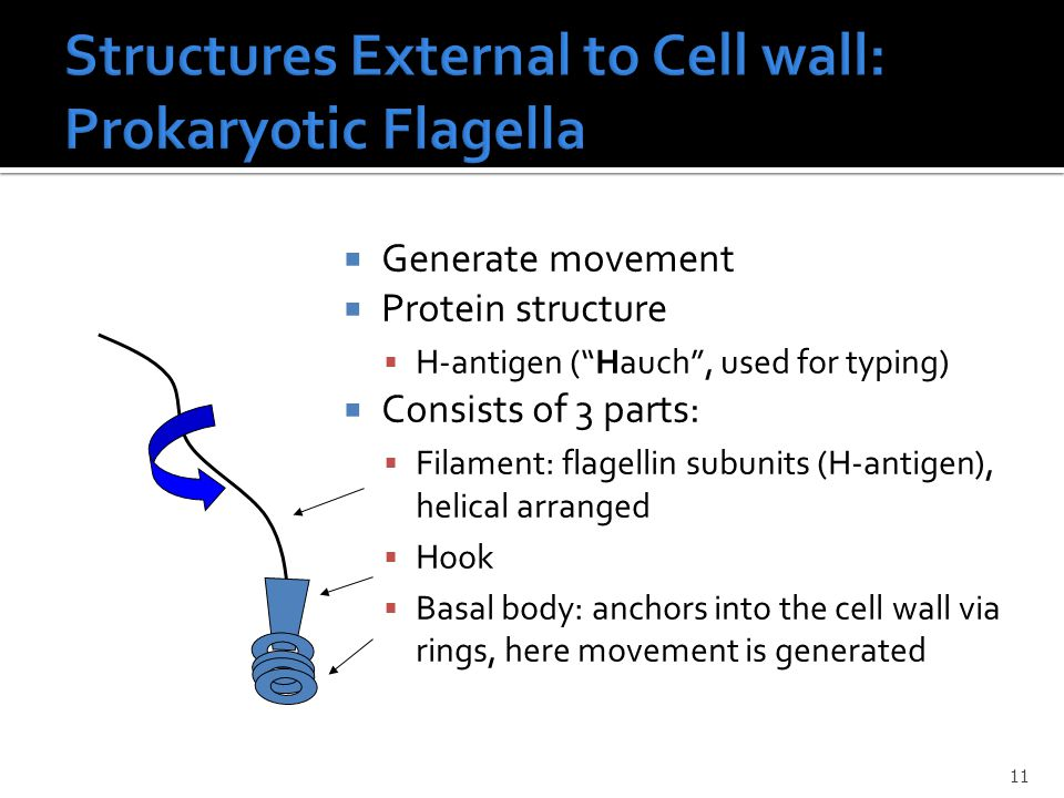  Generate movement  Protein structure  H-antigen ( Hauch , used for typing)  Consists of 3 parts:  Filament: flagellin subunits (H-antigen), helical arranged  Hook  Basal body: anchors into the cell wall via rings, here movement is generated 11