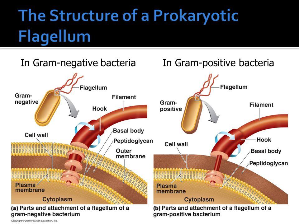 12 In Gram-negative bacteriaIn Gram-positive bacteria