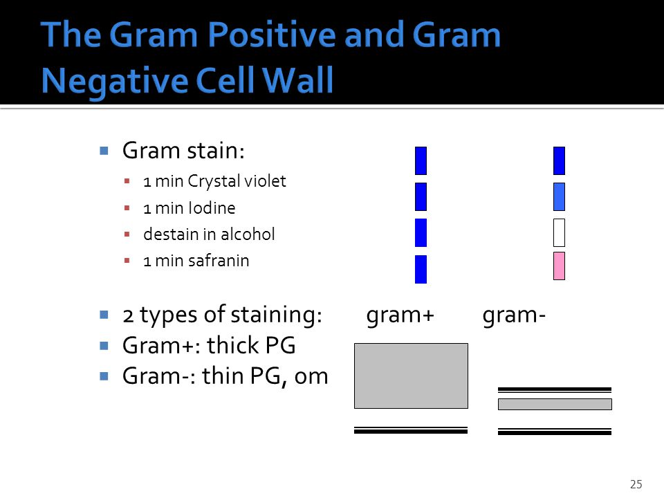  Gram stain:  1 min Crystal violet  1 min Iodine  destain in alcohol  1 min safranin  2 types of staining: gram+ gram-  Gram+: thick PG  Gram-: thin PG, om 25