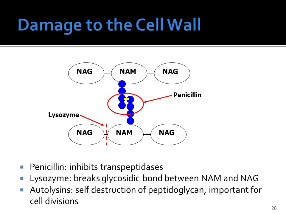  Penicillin: inhibits transpeptidases  Lysozyme: breaks glycosidic bond between NAM and NAG  Autolysins: self destruction of peptidoglycan, important for cell divisions NAG NAM NAGNAM Penicillin Lysozyme 28