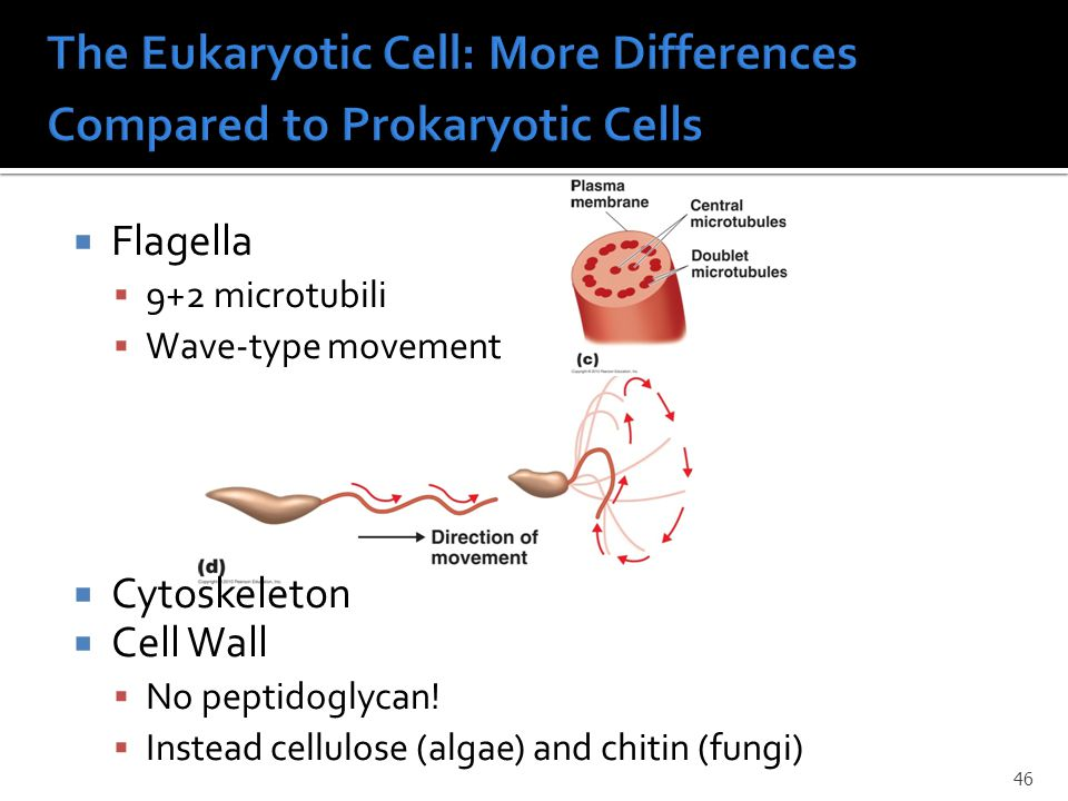  Flagella  9+2 microtubili  Wave-type movement  Cytoskeleton  Cell Wall  No peptidoglycan.