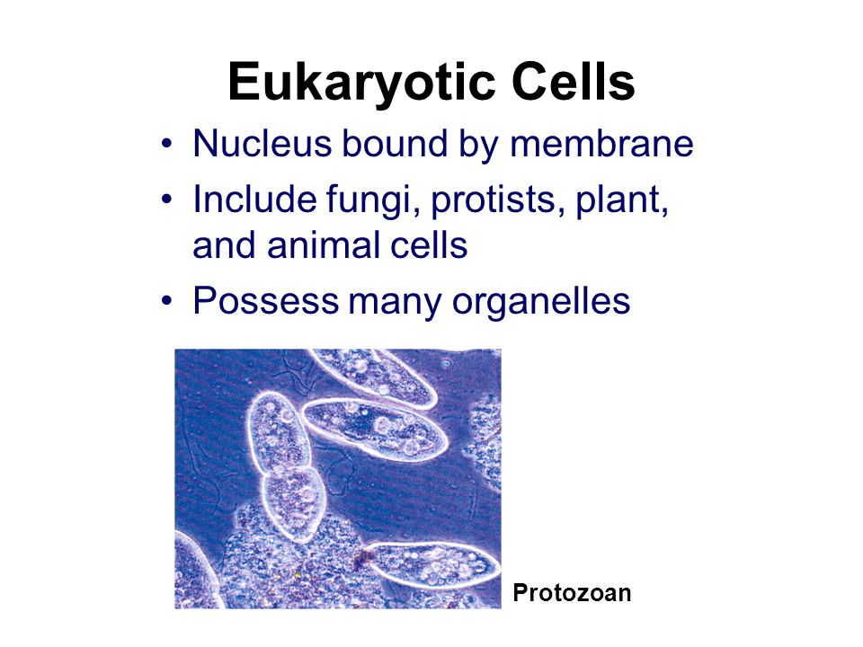 Eukaryotic Cells Nucleus bound by membrane Include fungi, protists, plant, and animal cells Possess many organelles Protozoan
