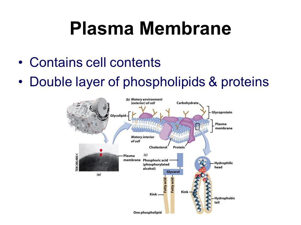 Plasma Membrane Contains cell contents Double layer of phospholipids & proteins