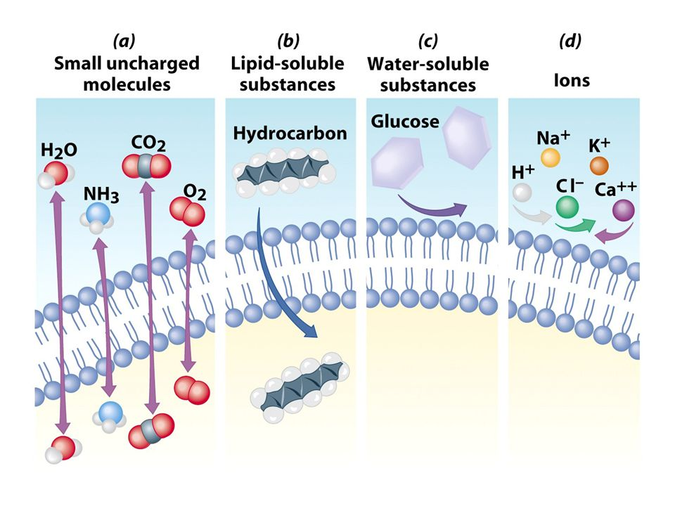 Membrane Proteins 1.Channels or transporters –Move molecules in one direction 2.