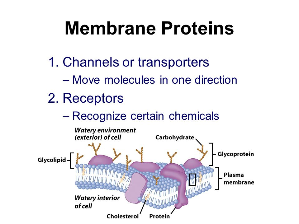 Membrane Proteins 1. Channels or transporters –Move molecules in one direction 2.