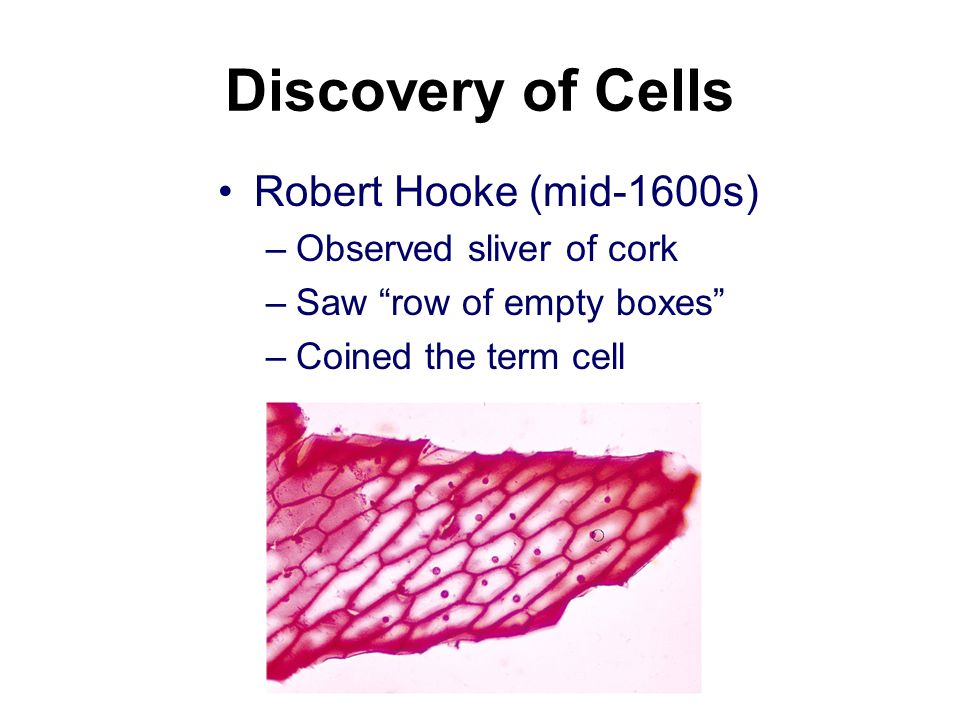 Discovery of Cells Robert Hooke (mid-1600s) –Observed sliver of cork –Saw row of empty boxes –Coined the term cell