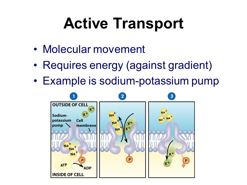 Active Transport Molecular movement Requires energy (against gradient) Example is sodium-potassium pump