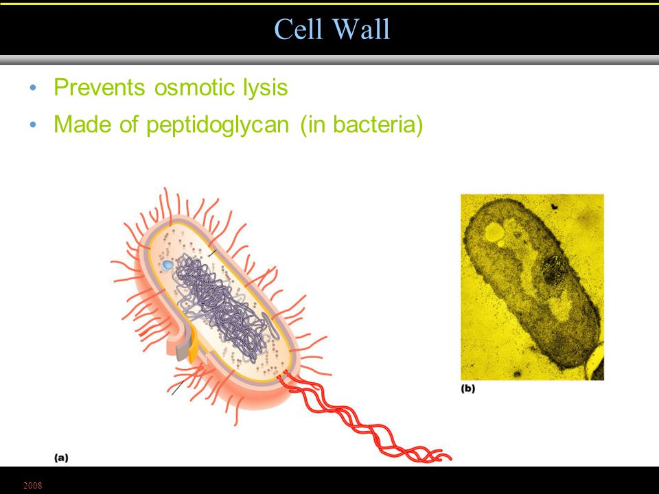 2008 Prevents osmotic lysis Made of peptidoglycan (in bacteria) Cell Wall Figure 4.6a, b